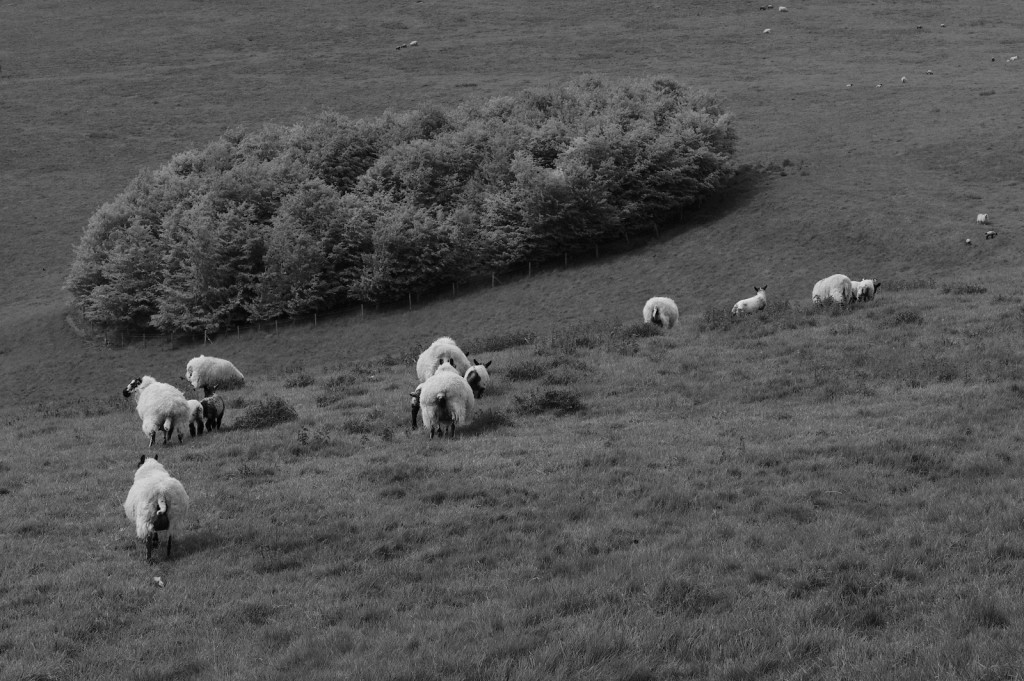 2012-05-19-sheep standing guard.small